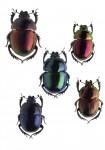 Coléoptères, insectes extraordiaires